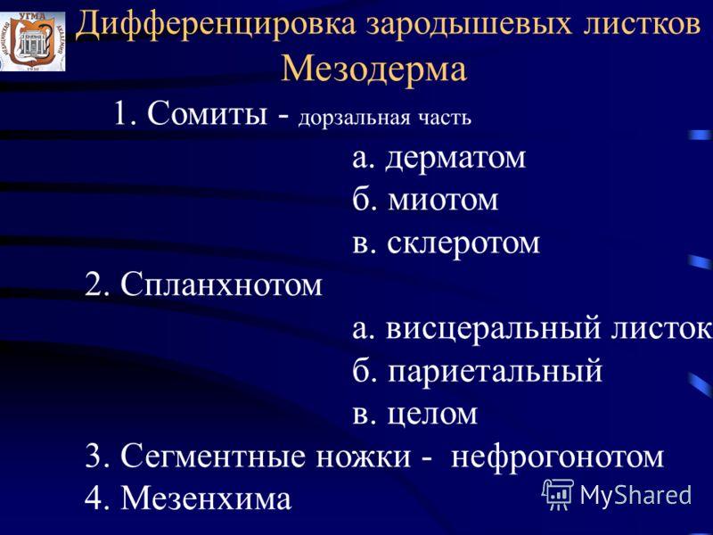 Дифференцировка зародышевых листков Мезодерма 1. Сомиты - дорзальная часть а. дерматом б. миотом в. склеротом 2. Спланхнотом а. висцеральный листок б. париетальный в. целом 3. Сегментные ножки - нефрогонотом 4. Мезенхима