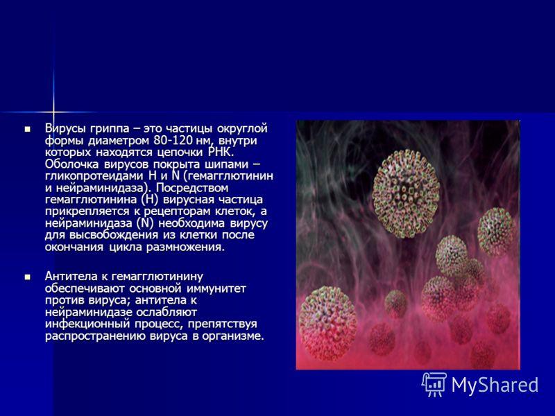 Вирусы гриппа – это частицы округлой формы диаметром 80-120 нм, внутри которых находятся цепочки РНК. Оболочка вирусов покрыта шипами – гликопротеидами H и N (гемагглютинин и нейраминидаза). Посредством гемагглютинина (Н) вирусная частица прикрепляет