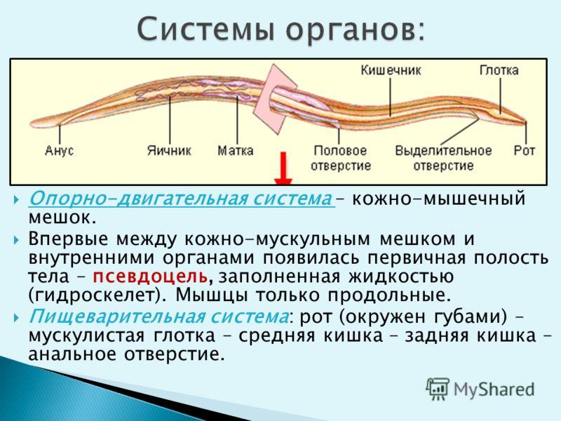 Опорно-двигательная система – кожно-мышечный мешок. Впервые между кожно-мускульным мешком и внутренними органами появилась первичная полость тела – псевдоцель, заполненная жидкостью (гидроскелет). Мышцы только продольные. Пищеварительная система: рот