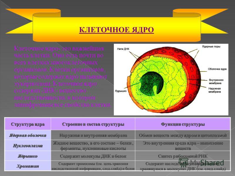 Структура ядра Строение и состав структуры Функции структуры Ядерная оболочка Наружная и внутренняя мембрана Обмен веществ между ядром и цитоплазмой Нуклеоплазма Жидкое вещество, в его составе – белки, ферменты, нуклеиновые кислоты Это внутренняя сре
