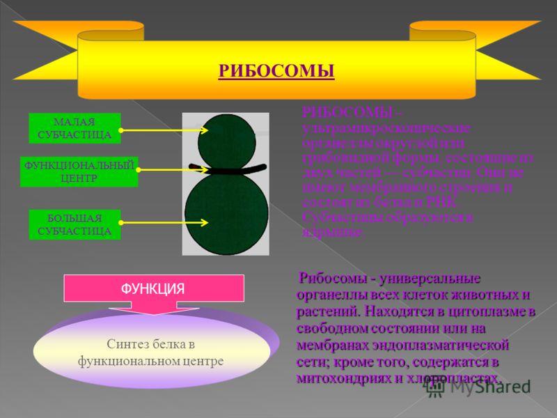 РИБОСОМЫ – ультрамикроскопические органеллы округлой или грибовидной формы, состоящие из двух частей субчастиц. Они не имеют мембранного строения и состоят из белка и РНК. Субчастицы образуются в ядрышке. РИБОСОМЫ Рибосомы - универсальные органеллы в