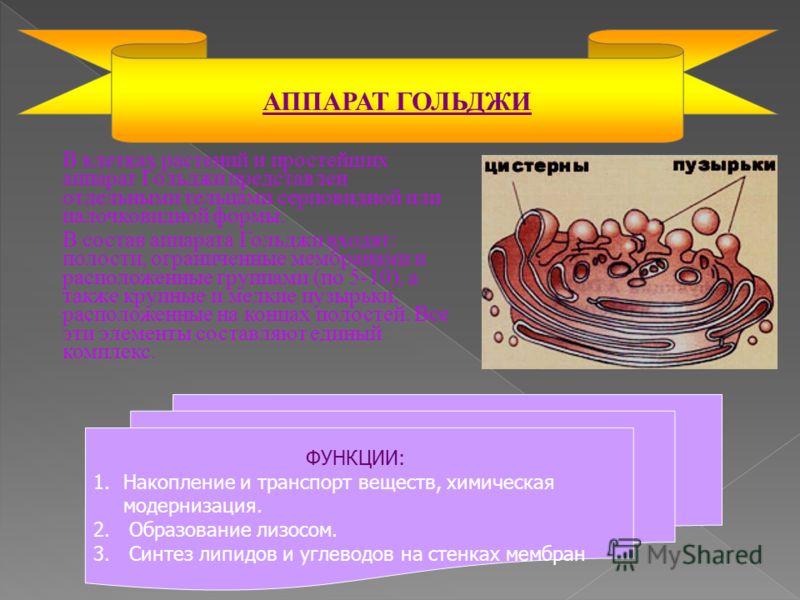 В клетках растений и простейших аппарат Гольджи представлен отдельными тельцами серповидной или палочковидной формы. В состав аппарата Гольджи входят: полости, ограниченные мембранами и расположенные группами (по 5-10), а также крупные и мелкие пузыр