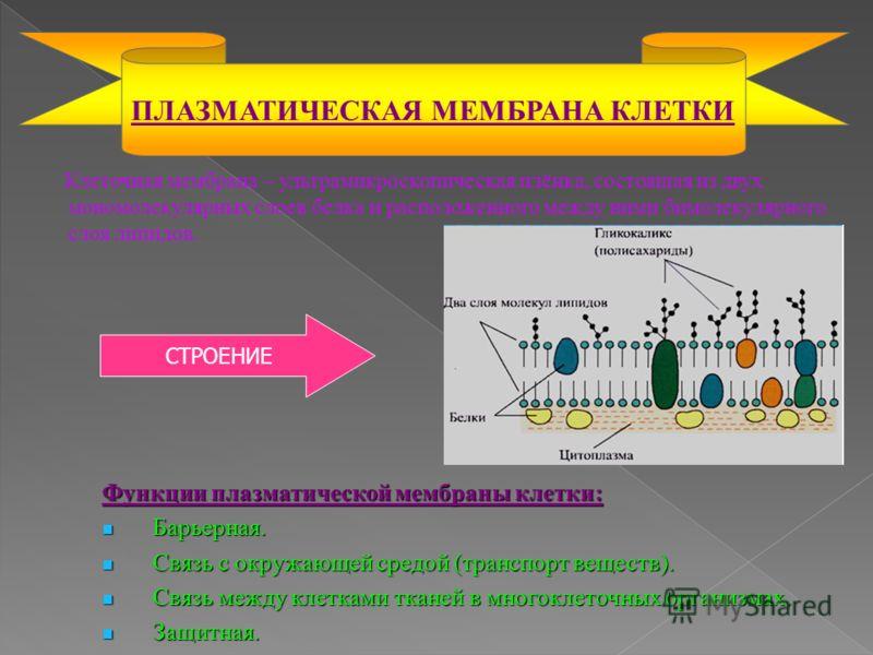 Клеточная мембрана – ультрамикроскопическая плёнка, состоящая из двух мономолекулярных слоев белка и расположенного между ними бимолекулярного слоя липидов. ПЛАЗМАТИЧЕСКАЯ МЕМБРАНА КЛЕТКИ Функции плазматической мембраны клетки: Барьерная. Барьерная.