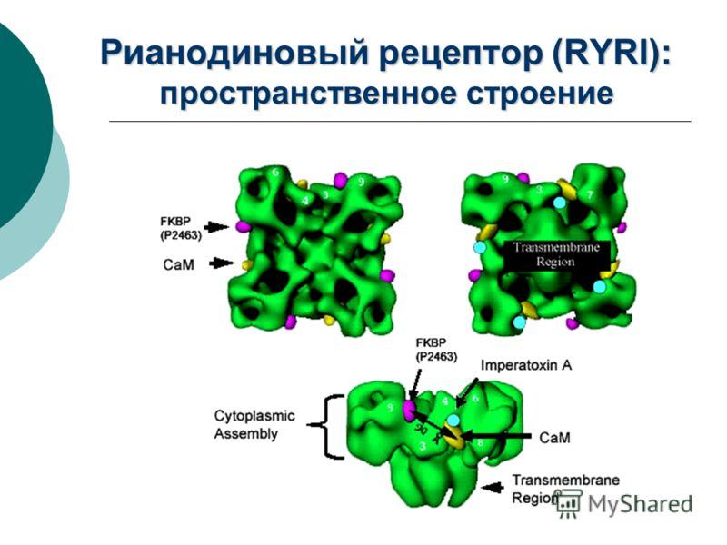 Рианодиновый рецептор (RYRI): пространственное строение