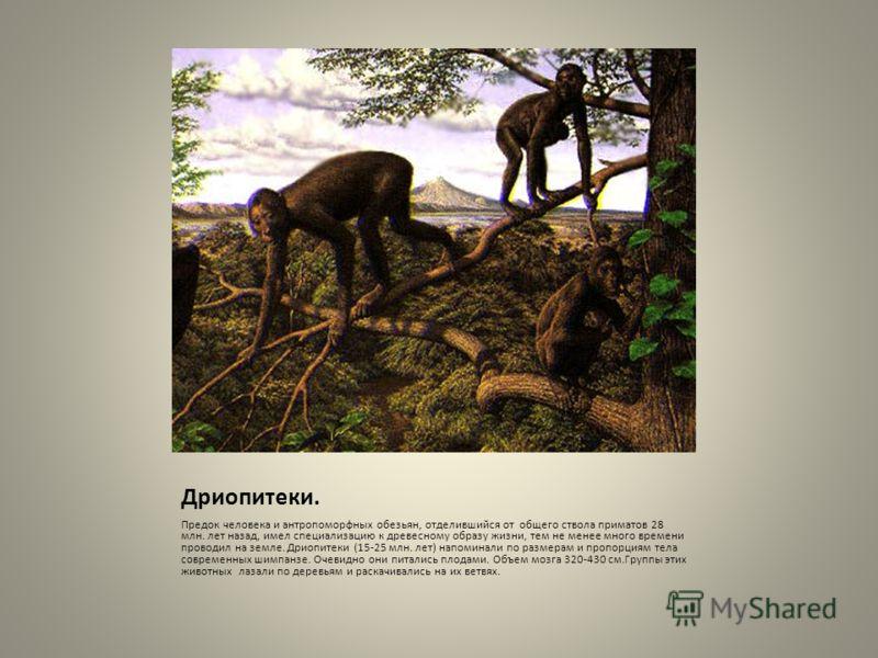 Дриопитеки. Предок человека и антропоморфных обезьян, отделившийся от общего ствола приматов 28 млн. лет назад, имел специализацию к древесному образу жизни, тем не менее много времени проводил на земле. Дриопитеки (15-25 млн. лет) напоминали по разм