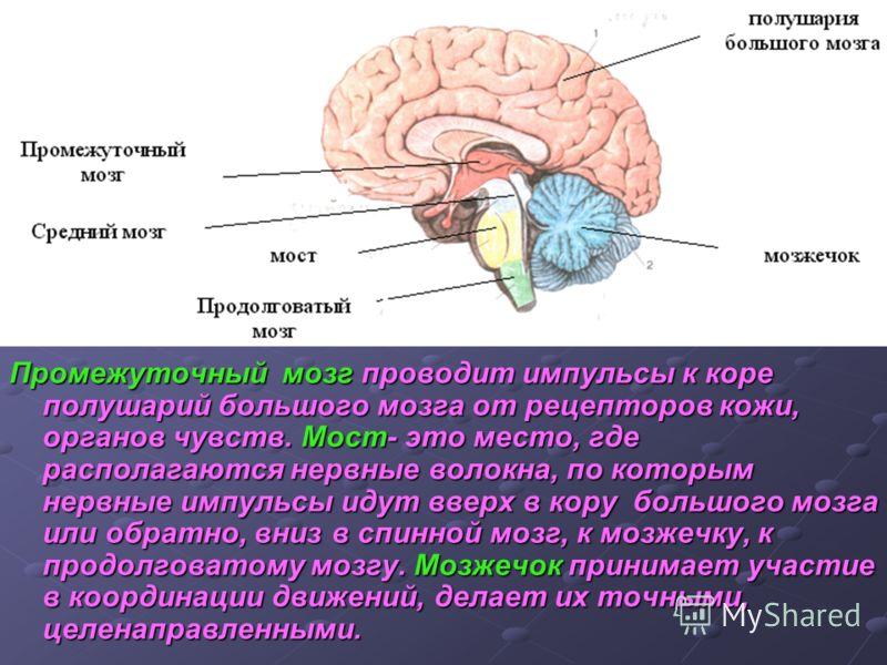 Промежуточный мозг проводит импульсы к коре полушарий большого мозга от рецепторов кожи, органов чувств. Мост- это место, где располагаются нервные волокна, по которым нервные импульсы идут вверх в кору большого мозга или обратно, вниз в спинной мозг