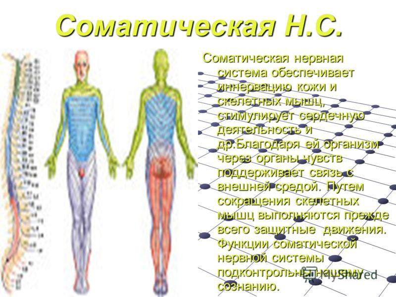 Соматическая Н.С. Соматическая нервная система обеспечивает иннервацию кожи и скелетных мышц, стимулирует сердечную деятельность и др.Благодаря ей организм через органы чувств поддерживает связь с внешней средой. Путем сокращения скелетных мышц выпол
