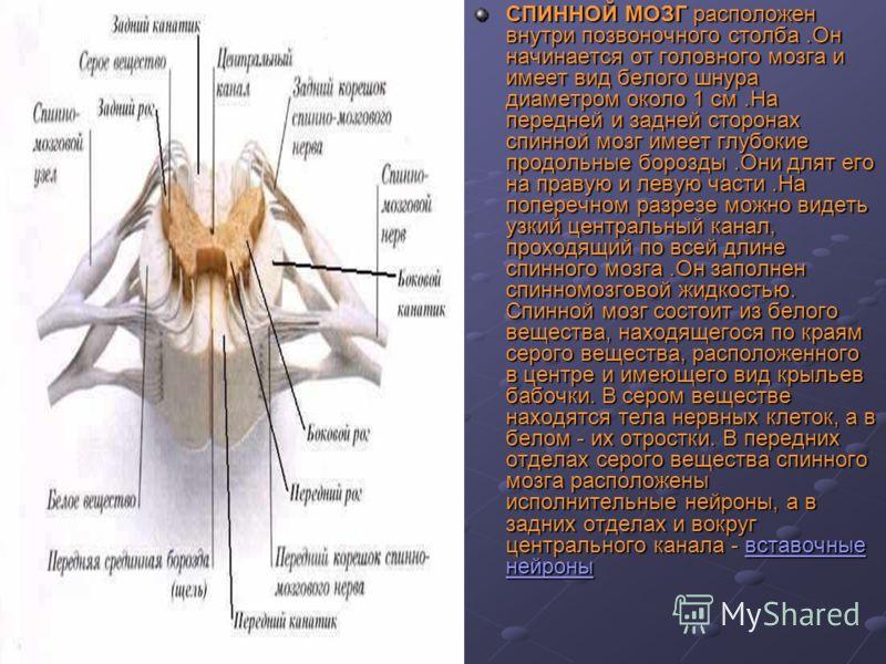СПИННОЙ МОЗГ расположен внутри позвоночного столба.Он начинается от головного мозга и имеет вид белого шнура диаметром около 1 см.На передней и задней сторонах спинной мозг имеет глубокие продольные борозды.Они длят его на правую и левую части.На поп