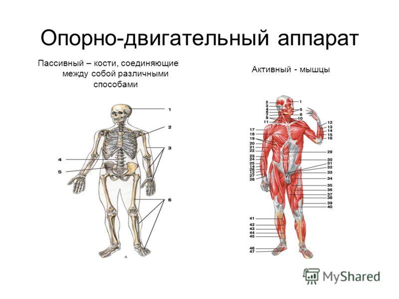Опорно-двигательный аппарат Пассивный – кости, соединяющие между собой различными способами Активный - мышцы