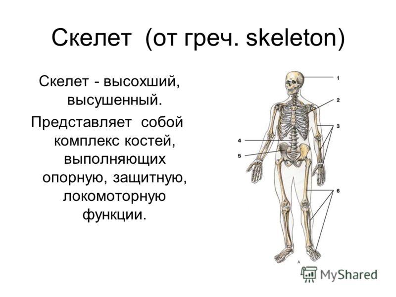 Скелет (от греч. skeleton) Скелет - высохший, высушенный. Представляет собой комплекс костей, выполняющих опорную, защитную, локомоторную функции.