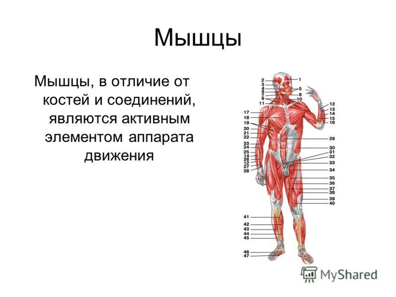 Мышцы Мышцы, в отличие от костей и соединений, являются активным элементом аппарата движения