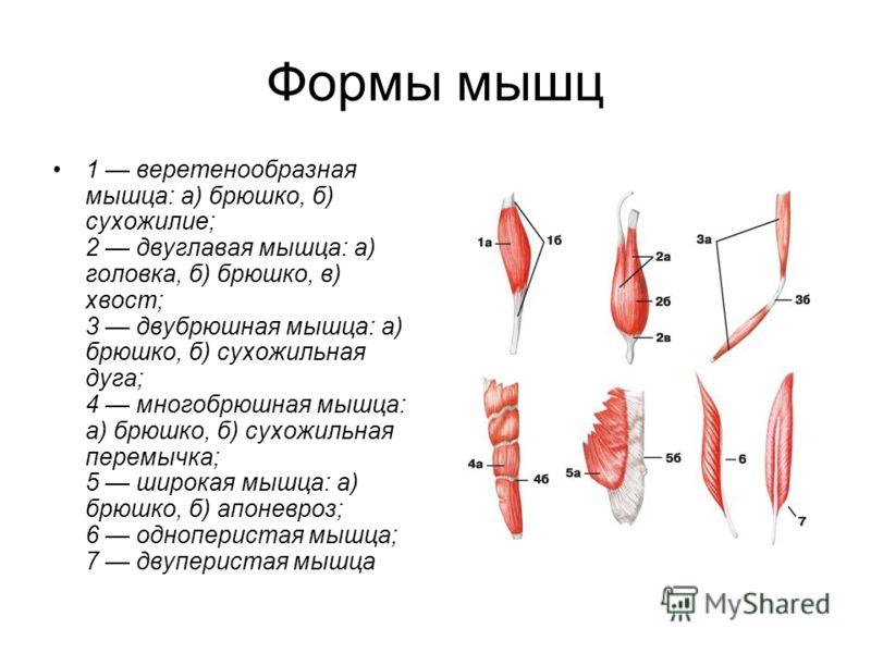 Формы мышц 1 веретенообразная мышца: а) брюшко, б) сухожилие; 2 двуглавая мышца: а) головка, б) брюшко, в) хвост; 3 двубрюшная мышца: а) брюшко, б) сухожильная дуга; 4 многобрюшная мышца: а) брюшко, б) сухожильная перемычка; 5 широкая мышца: а) брюшк