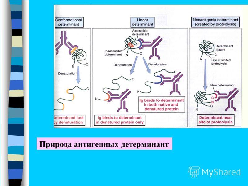 Природа антигенных детерминант