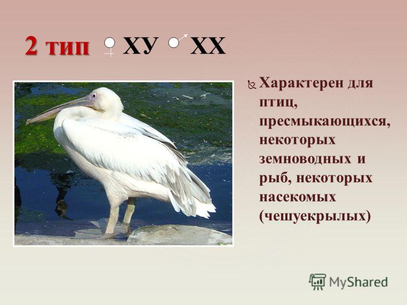 Характерен для птиц, пресмыкающихся, некоторых земноводных и рыб, некоторых насекомых (чешуекрылых) 2 тип ХУ ХХ
