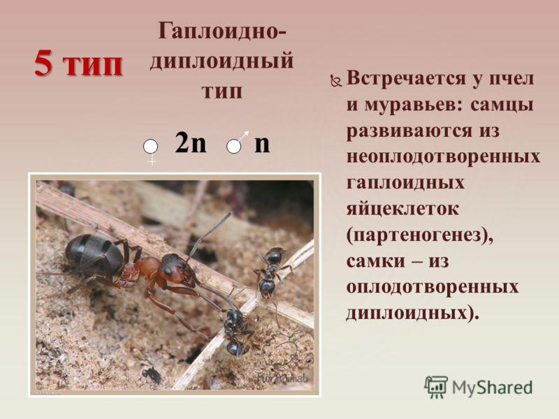 Встречается у пчел и муравьев: самцы развиваются из неоплодотворенных гаплоидных яйцеклеток (партеногенез), самки – из оплодотворенных диплоидных). 5 тип Гаплоидно- диплоидный тип 2n n
