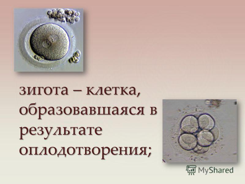 зигота – клетка, образовавшаяся в результате оплодотворения;