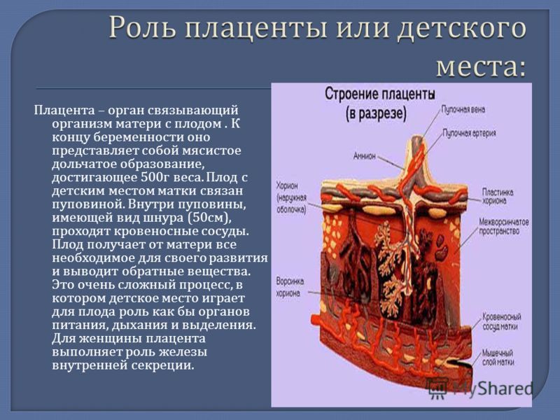 Плацента – орган связывающий организм матери с плодом. К концу беременности оно представляет собой мясистое дольчатое образование, достигающее 500 г веса. Плод с детским местом матки связан пуповиной. Внутри пуповины, имеющей вид шнура (50 см ), прох