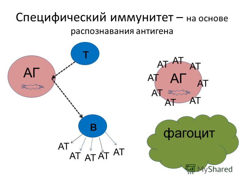 АГ тв Специфический иммунитет – на основе распознавания антигена АТ АГ АТ фагоцит