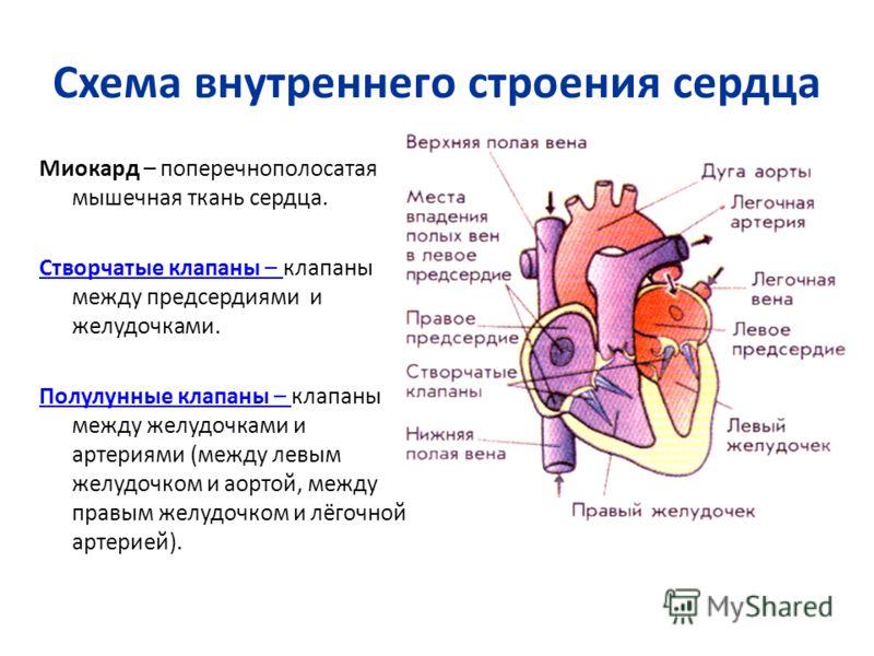 Схема внутреннего строения сердца Миокард – поперечнополосатая мышечная ткань сердца. Створчатые клапаны – Створчатые клапаны – клапаны между предсердиями и желудочками. Полулунные клапаны – Полулунные клапаны – клапаны между желудочками и артериями