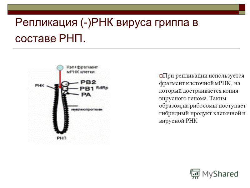 Репликация (-)РНК вируса гриппа в составе РНП. При репликации используется фрагмент клеточной мРНК, на который достраивается копия вирусного генома. Таким образом,на рибосомы поступает гибридный продукт клеточной и вирусной РНК