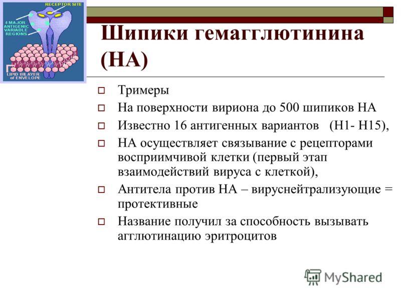 Шипики гемагглютинина (HA) Тримеры На поверхности вириона до 500 шипиков HA Известно 16 антигенных вариантов (H1- H15), HA осуществляет связывание с рецепторами восприимчивой клетки (первый этап взаимодействий вируса с клеткой), Антитела против HA –