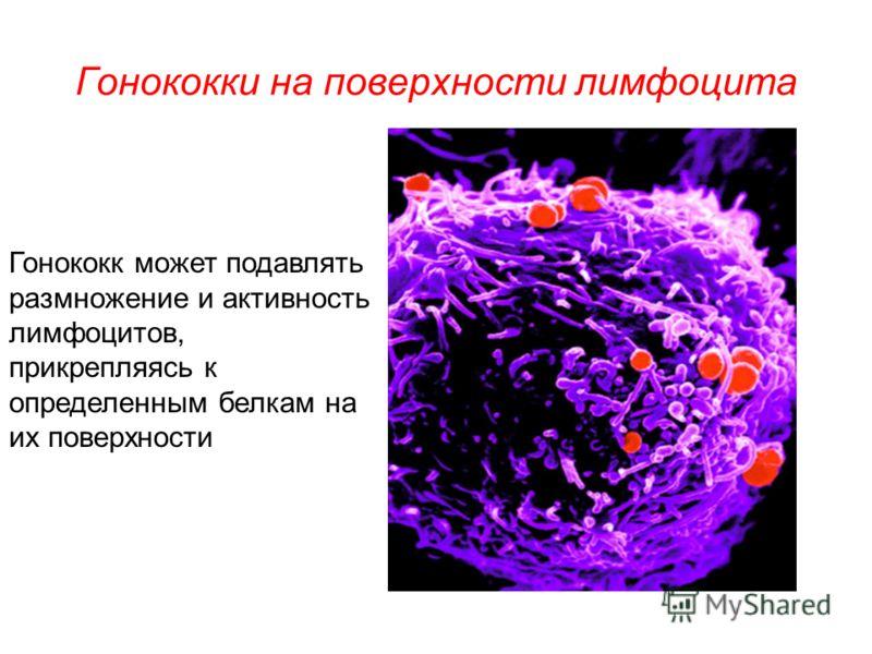Гонококки на поверхности лимфоцита Гонококк может подавлять размножение и активность лимфоцитов, прикрепляясь к определенным белкам на их поверхности