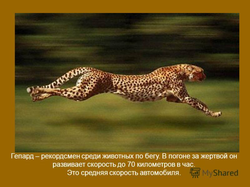 Гепард – рекордсмен среди животных по бегу. В погоне за жертвой он развивает скорость до 70 километров в час. Это средняя скорость автомобиля.