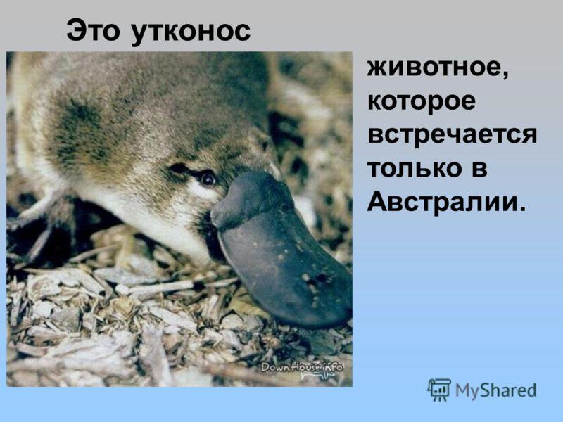 животное, которое встречается только в Австралии. Это утконос