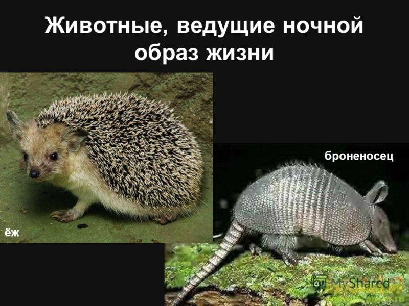 Животные, ведущие ночной образ жизни ёж броненосец