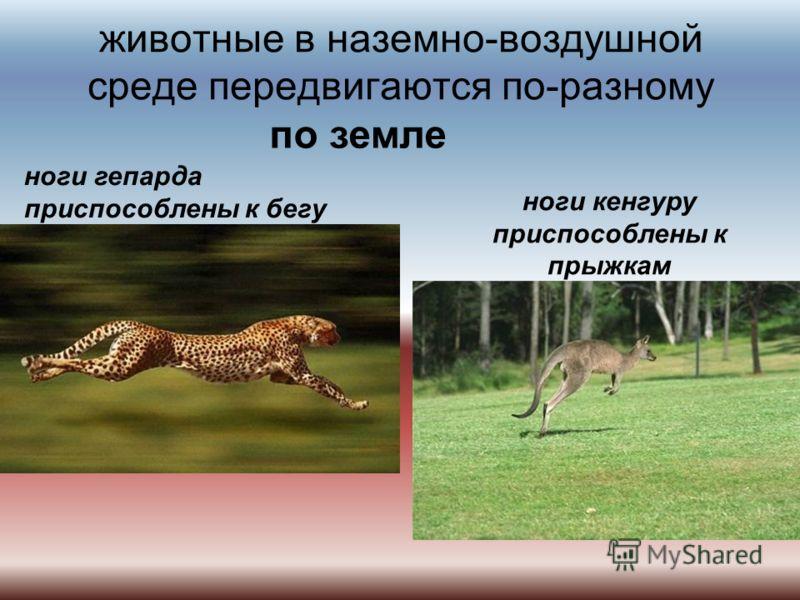 животные в наземно-воздушной среде передвигаются по-разному по земле ноги гепарда приспособлены к бегу ноги кенгуру приспособлены к прыжкам