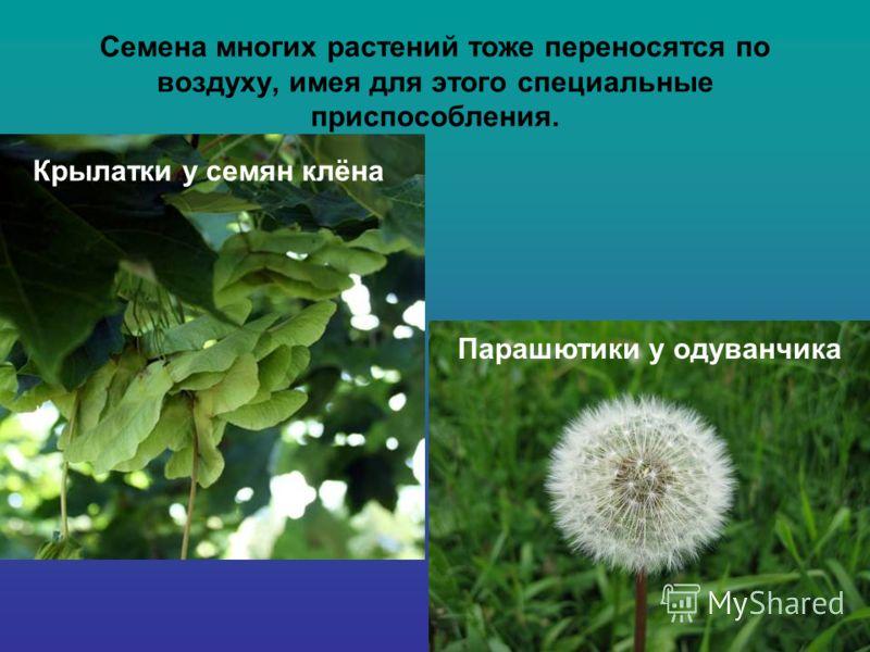 Семена многих растений тоже переносятся по воздуху, имея для этого специальные приспособления. Крылатки у семян клёна Парашютики у одуванчика