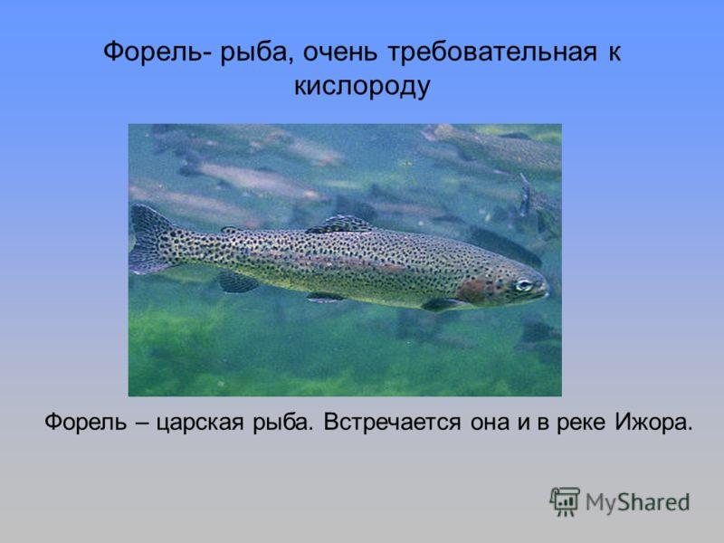 Форель- рыба, очень требовательная к кислороду Форель – царская рыба. Встречается она и в реке Ижора.