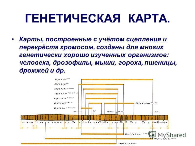 ГЕНЕТИЧЕСКАЯ КАРТА. Карты, построенные с учётом сцепления и перекрёста хромосом, созданы для многих генетически хорошо изученных организмов: человека, дрозофилы, мыши, гороха, пшеницы, дрожжей и др.
