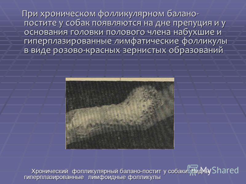При хроническом фолликулярном балано- постите у собак появляются на дне препуция и у основания головки полового члена набухшие и гиперплазированные лимфатические фолликулы в виде розово-красных зернистых образований При хроническом фолликулярном бала