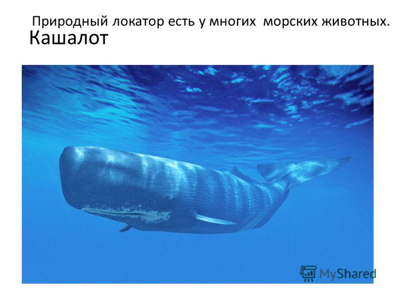 Кашалот Природный локатор есть у многих морских животных.