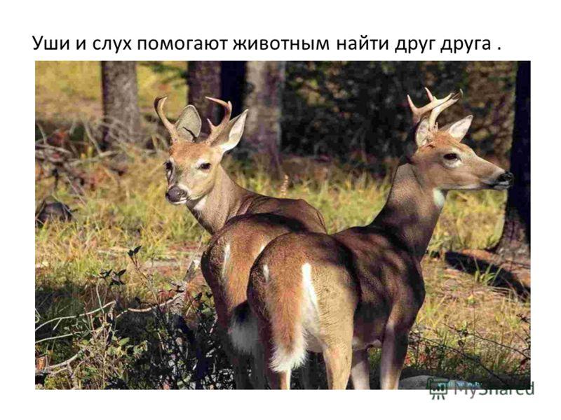 Уши и слух помогают животным найти друг друга.