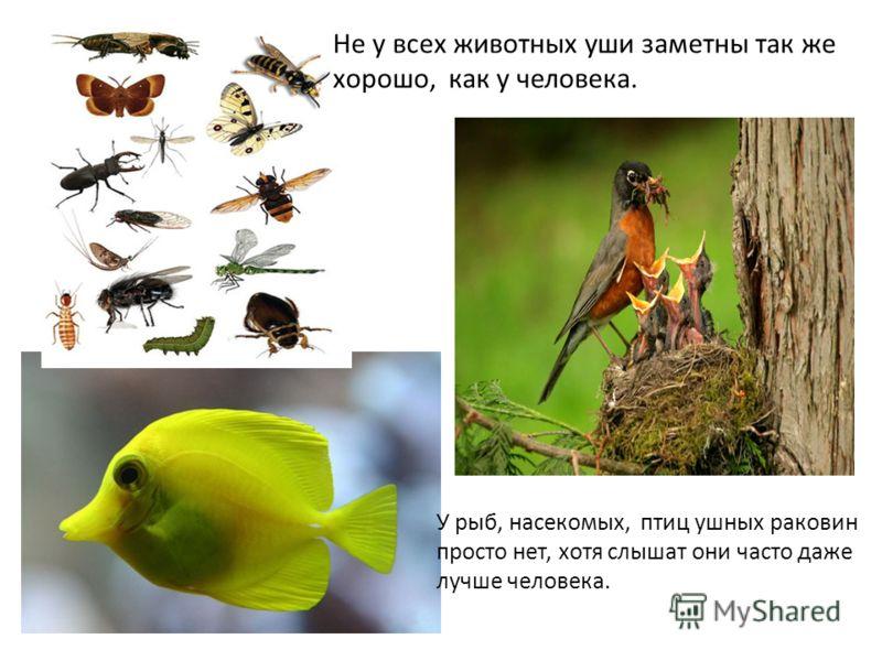 Не у всех животных уши заметны так же хорошо, как у человека. У рыб, насекомых, птиц ушных раковин просто нет, хотя слышат они часто даже лучше человека.