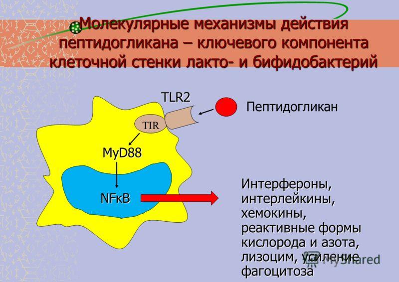 Молекулярные механизмы действия пептидогликана – ключевого компонента клеточной стенки лакто- и бифидобактерий Интерфероны, интерлейкины, хемокины, реактивные формы кислорода и азота, лизоцим, усиление фагоцитоза TLR2 Пептидогликан MyD88 NFκB TIR