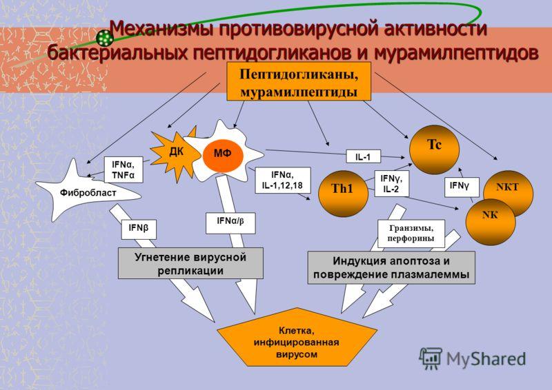 Пептидогликаны, мурамилпептиды Тh1 NКTNКT Tc ДК МФ IFNα, IL-1,12,18 IFNγ, IL-2 NКNК IFNβ IFNγ IFNα/ β Угнетение вирусной репликации Индукция апоптоза и повреждение плазмалеммы IFNα, TNFα Клетка, инфицированная вирусом Механизмы противовирусной активн