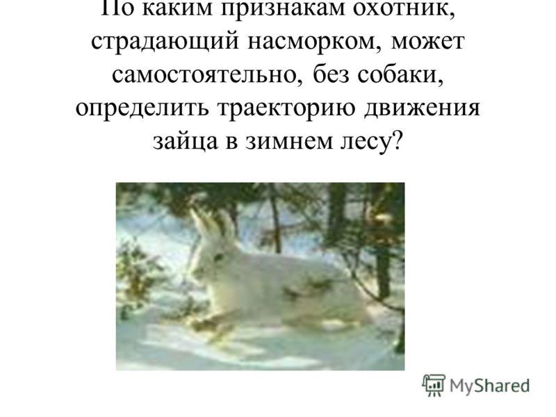 По каким признакам охотник, страдающий насморком, может самостоятельно, без собаки, определить траекторию движения зайца в зимнем лесу?
