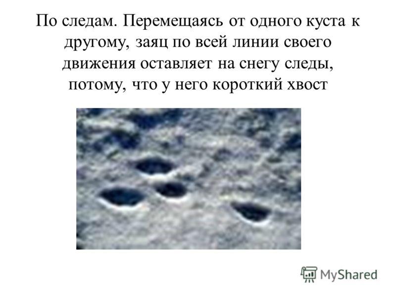 По следам. Перемещаясь от одного куста к другому, заяц по всей линии своего движения оставляет на снегу следы, потому, что у него короткий хвост