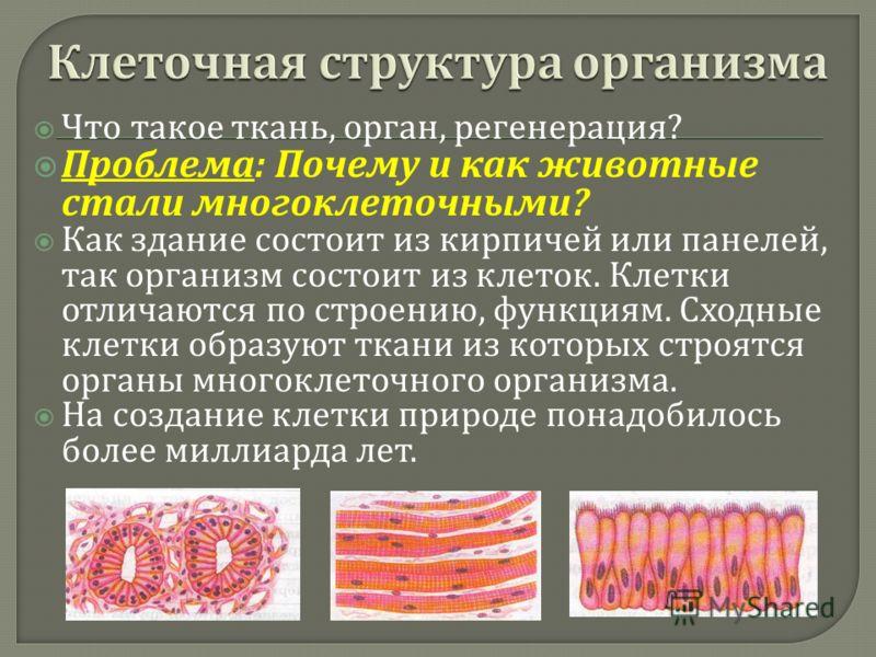 Что такое ткань, орган, регенерация ? Проблема : Почему и как животные стали многоклеточными ? Как здание состоит из кирпичей или панелей, так организм состоит из клеток. Клетки отличаются по строению, функциям. Сходные клетки образуют ткани из котор