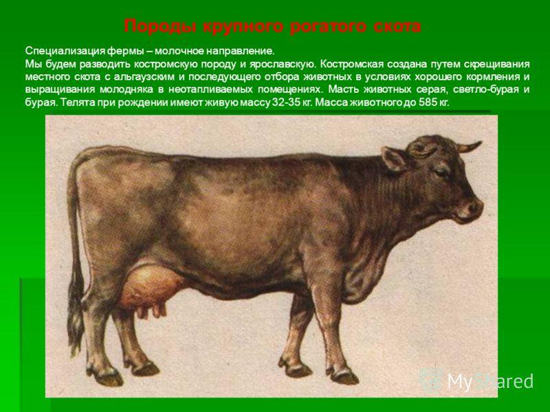 Породы крупного рогатого скота Специализация фермы – молочное направление. Мы будем разводить костромскую породу и ярославскую. Костромская создана путем скрещивания местного скота с альгаузским и последующего отбора животных в условиях хорошего корм