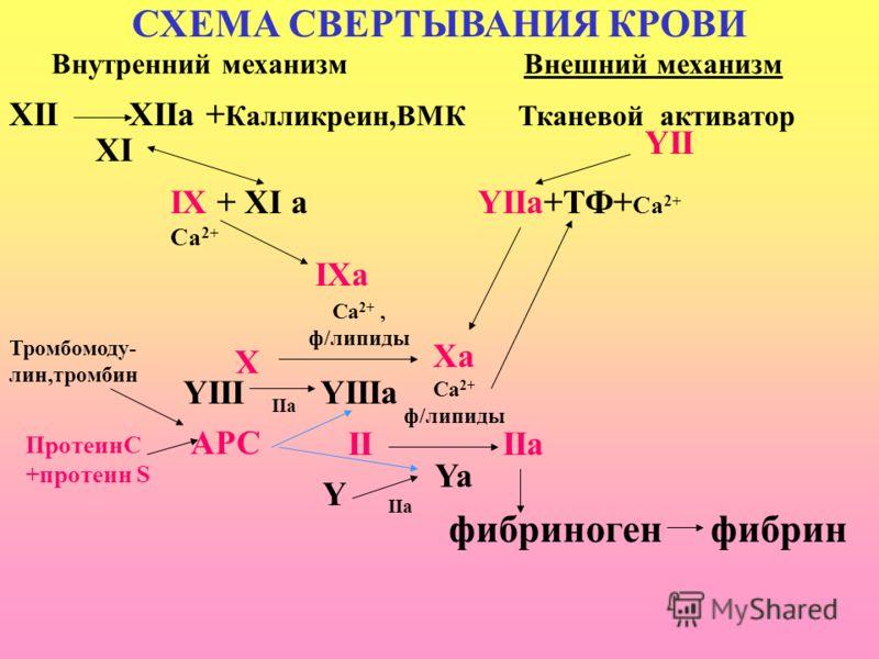 СХЕМА СВЕРТЫВАНИЯ КРОВИ Внутренний механизм Внешний механизм XII XIIa + Калликреин,ВМК Тканевой активатор IX + XI a YIIa+ТФ+ Са 2+ Ca 2+ IXa X YII XI Са 2+, ф/липиды YIIIa Xa Ca 2+ ф/липиды Ya II IIa YIII Y IIa фибриноген фибрин ПротеинС +протеин S Т