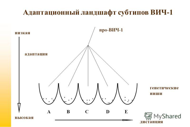 A B C D E адаптация низкая высокая..................... дистанция генетические ниши про-ВИЧ-1 Адаптационный ландшафт субтипов ВИЧ-1