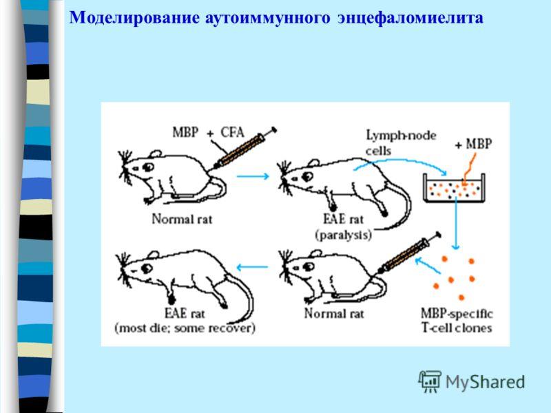 Моделирование аутоиммунного энцефаломиелита