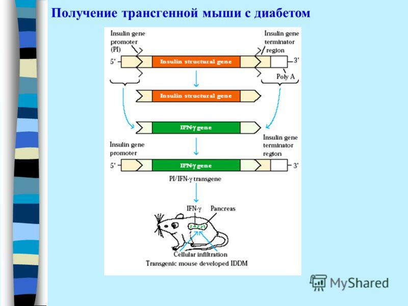 Получение трансгенной мыши с диабетом