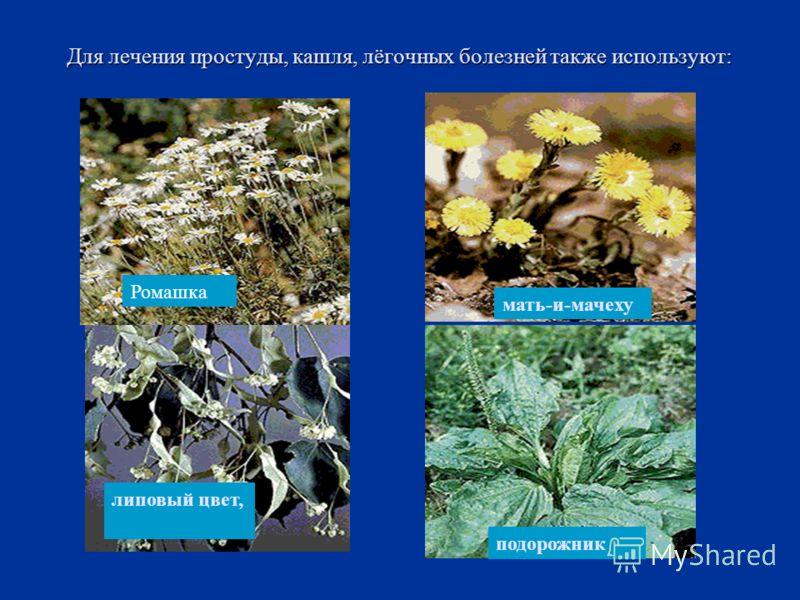 Для лечения простуды, кашля, лёгочных болезней также используют: Ромашка липовый цвет, мать-и-мачеху подорожник