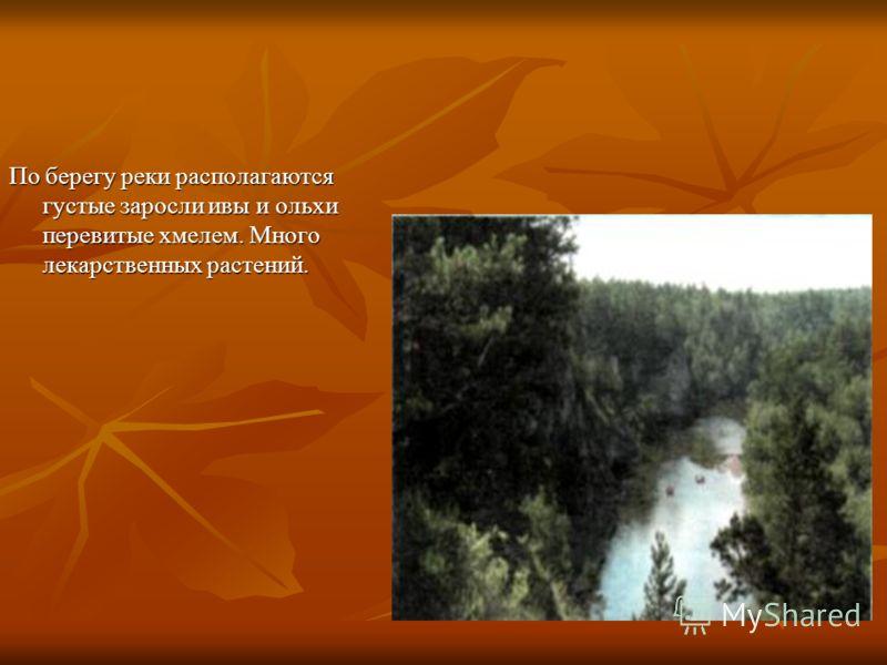 По берегу реки располагаются густые заросли ивы и ольхи перевитые хмелем. Много лекарственных растений.
