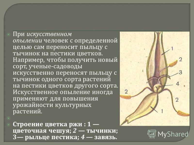 При искусственном опылении человек с определенной целью сам переносит пыльцу с тычинок на пестики цветков. Например, чтобы получить новый сорт, ученые - садоводы искусственно переносят пыльцу с тычинок одного сорта растений на пестики цветков другого